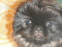 This is a pure bred pekingese male puppy. He is 8