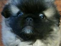 We have one male pekingese puppy for sale. ..he was