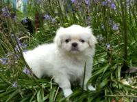 KATERING PEKINGESE SINCE 1970 ALSO AKC BREEDERS OF