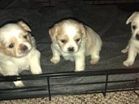 I have 3 Pekingese / chihuahua mix pups... 2 male and 1