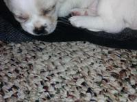 I have 3 Pekingese / chihuahua 1 male left ... they