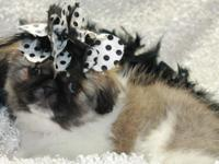 READY NOW! We have 2 male Pekingese young puppies one