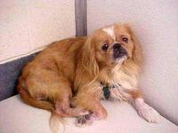 Pekingese - Ray Ray - Small - Adult - Male - Dog It
