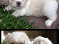We have some gorgeous Pekingese puppies. The girls are