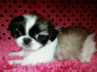 I have a Tiny pekingese sleeve female come with shots,