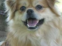 Pekingese - Teddy - Small - Adult - Male - Dog I'm
