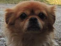 Pekingese - Tiffany - Small - Adult - Female - Dog For