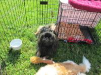 Pekingese - Willy - Small - Adult - Male - Dog Hi