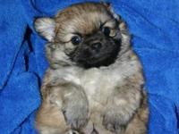I have x2 cute little males, fluffy Pekingese