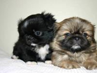 I am selling x3 adorable Pekingese babies that are