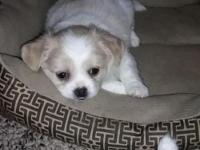 I am taking deposits on my Pekingese / chihuahua mix