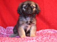 I have two Pekingese puppies that are the most cute