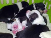 I have 5 male corgi puppies left, they all have their