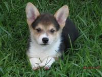 Alex is a male Corgi puppy , looking for his new home.