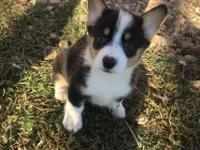 Pembroke Corgi pups 3 months who need a new home.They