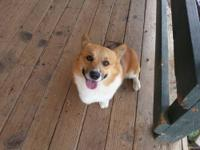 Gorgeous Pembroke Welsh Corgi female! One only and she