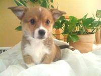Pembroke Welsh Corgi ICCF Registration papers. brindle