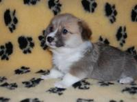 Pembroke Welsh Corgi Male for you the are very cute