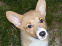 AKC Pembroke Welsh Corgi puppy, I have one red Male. 16