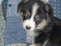 Next Litter Due in 2 Months...get on my waiting list