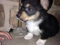 Beautiful Corgi new puppies! Pleased & & healthy and
