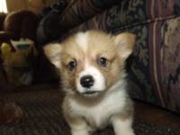 Now taking deposits on beautiful Pembroke Welsh Corgi