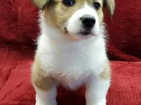 Corgis are muscular, sturdy dogs, with strong legs,