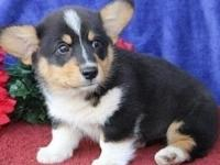 Pembroke welsh corgi puppies,,only text  405