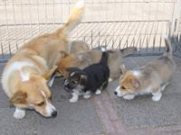Beautiful and well breed pembroke welsh corgi puppies