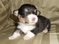 Pembroke Welsh Corgi Puppies - $700.00. AKC registered