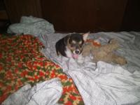 I have one male tricolored Corgi puppy for sale. He was