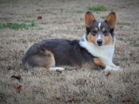 Half-Pint Corgis is pleased to offer this cutie for