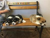 Sweet little corgis have arrived! One female tri-color
