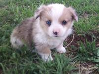 This little male is a beautiful red merle in color and