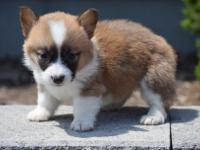 Super nice litter of AKC reg Corgis. Puppies will be DM