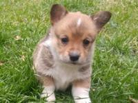 AKC Pembroke Welsh Corgi Puppies! Born St. Patrick's