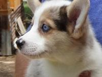 Blue MERLE MALE AVAILABLE. Really neat markings and