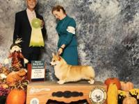 AKC Champion with all health clearances. Price is for