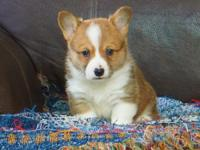 Rhett is a gorgeous little red and white male with