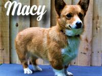 Macy is a sweet Pembroke Welsh Corgi She has had her