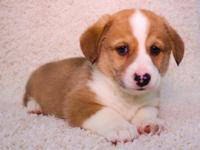 Bella is an AKC Pembroke Welsh Corgi who is DM clear