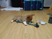 We have an ardorable full bred Welsh Corgi puppy that