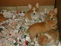 AKC Registered Corgi pups, shots current and dewormed.