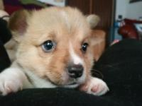 Corgi puppy for sale. Male. Sable. Vaccinated and