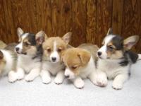The puppies in this litter are from AKC Registered