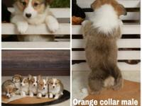 AKC Pembroke Welsh Corgi puppies available. They have