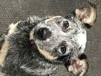 Pending ACD Charlie (Pup)'s story Please contact Monica