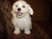 Benjy is a little beige Shichon boy. He is fun loving