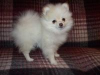 I have one outstanding female cream pomeranian puppy