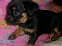 Katie is a beautiful black & tan, CKC reg. Brussels